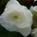 "Tuberous Begonia ""Seductive Bride"""