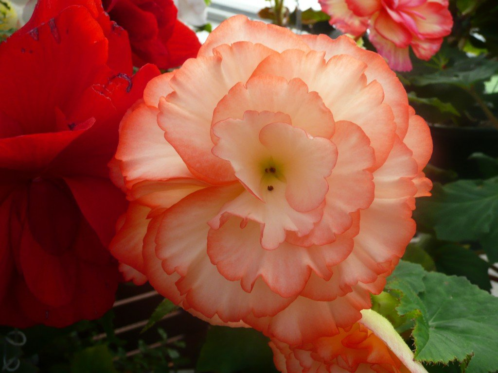 tuberous begonia peach ©www.jenniferramirezbaulch.com